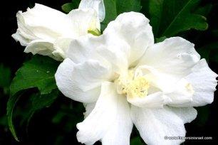 Rose of Sharon IMG_0019